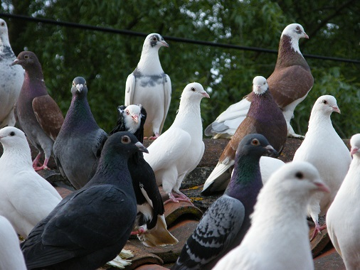 Large group of mixed pigeons and doves